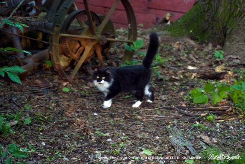 Mom cat patrolling her territory.