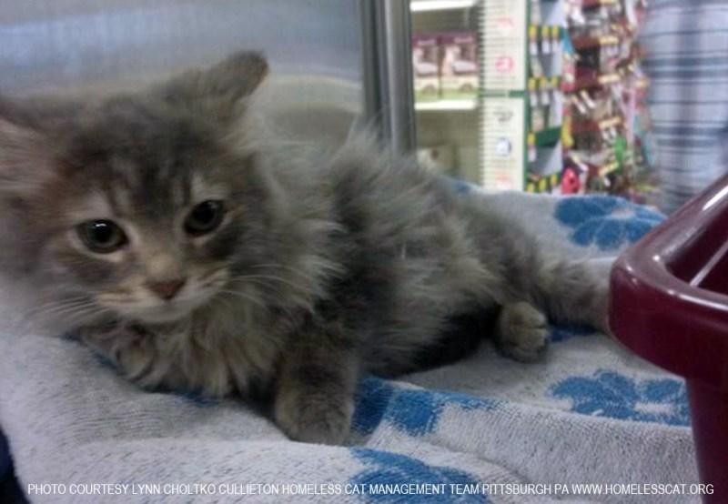 long-haired gray kitten