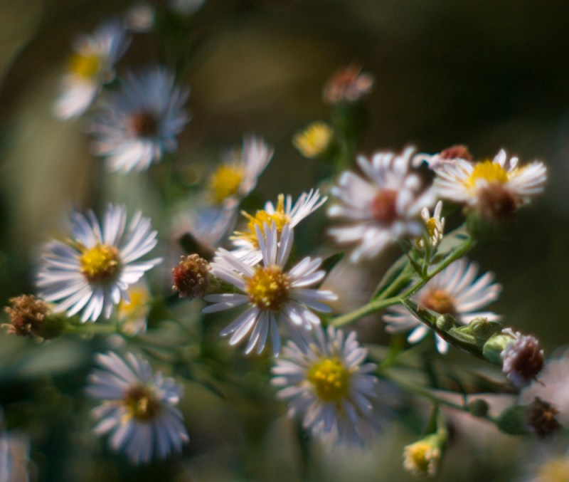 many-flowerd asters