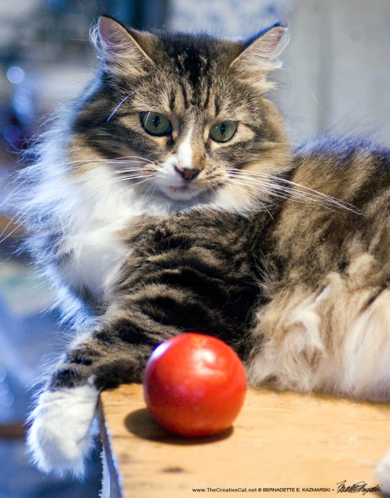 tabby and white cat with tomato