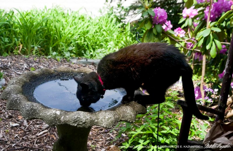 cat drinking from birdbath