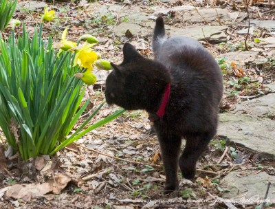 black cat with daffodils