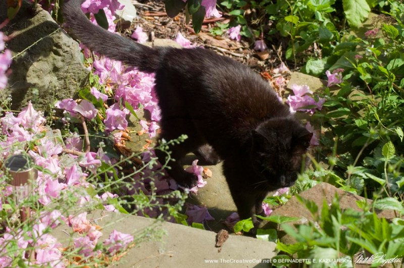 black cat with pink rhododendron