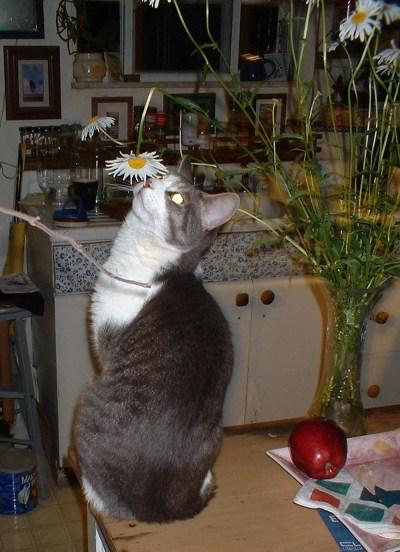cat looking at daisy