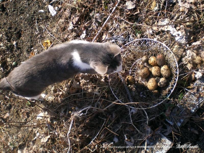 Namir studying the potatoes I dug up.