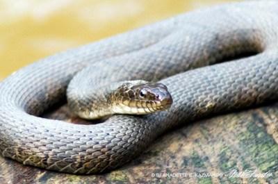 Water snake, closeup