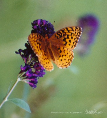Great spangled fritillary on butterfly bush.