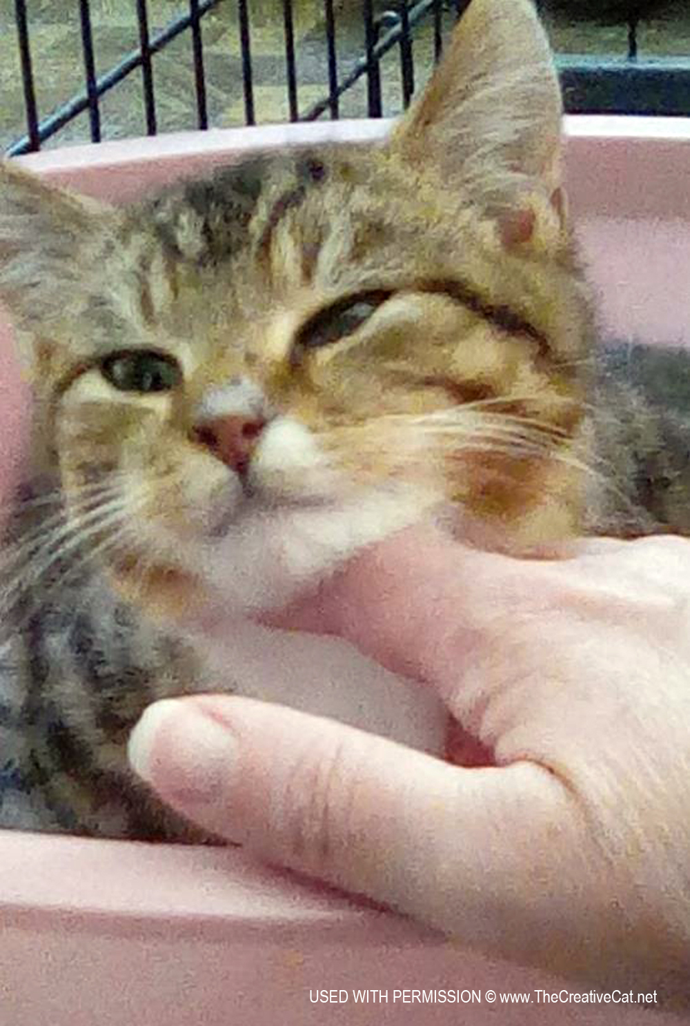 Cats for Adoption: Pippin