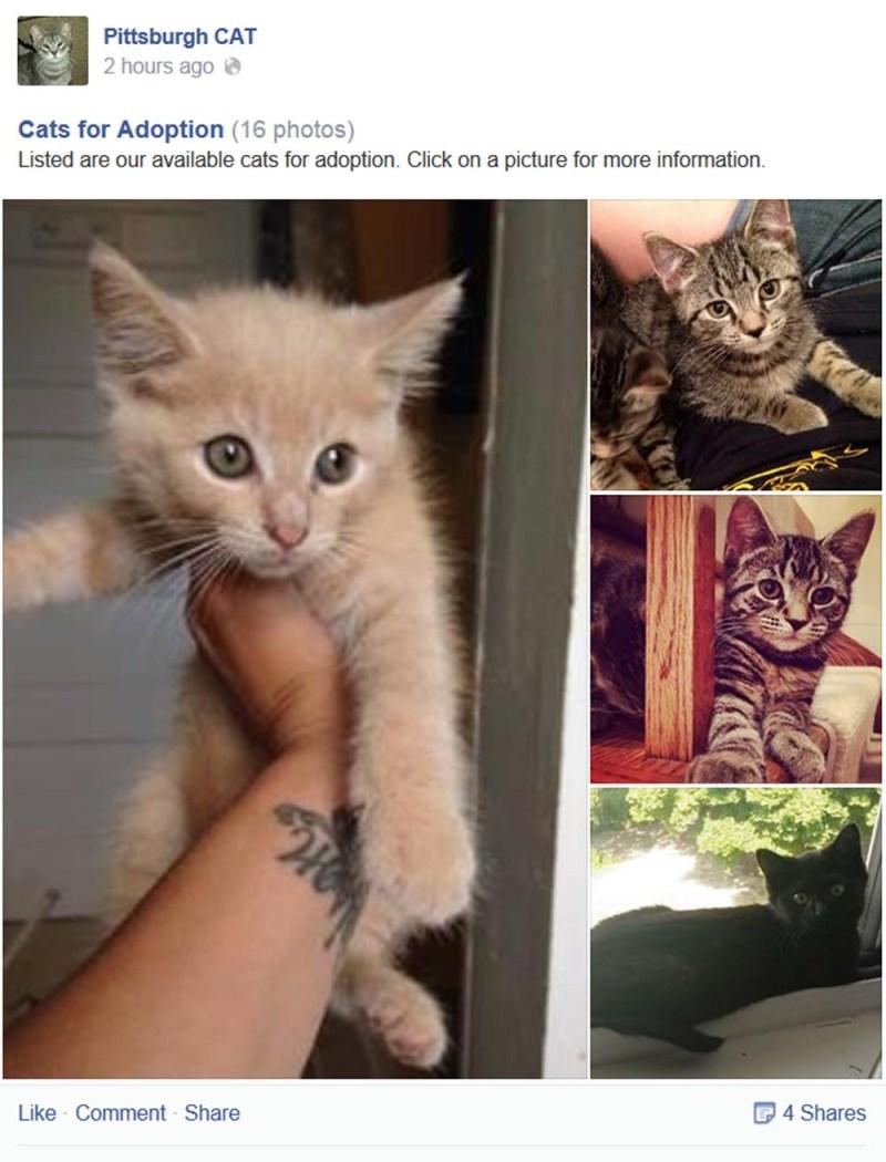 orange kitten for adoption
