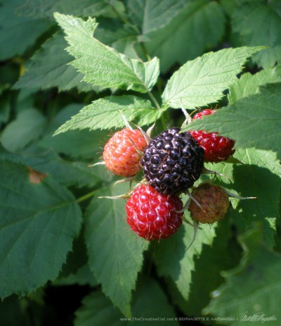 Raspberries on the bush.