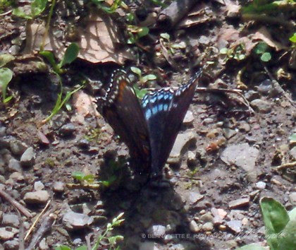 This red spotted purple is puddling, though the soil is only damp.
