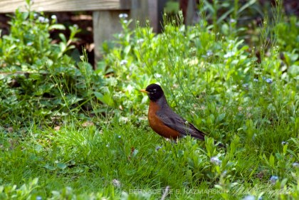 Robin hunting for worms and insects in spring.
