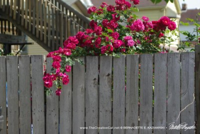 Reference for roses on the fence.