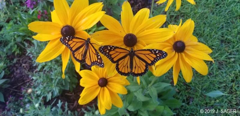 Released monarchs in Jenn's yard.