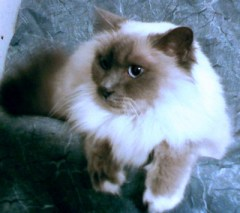 blue-point birman cat