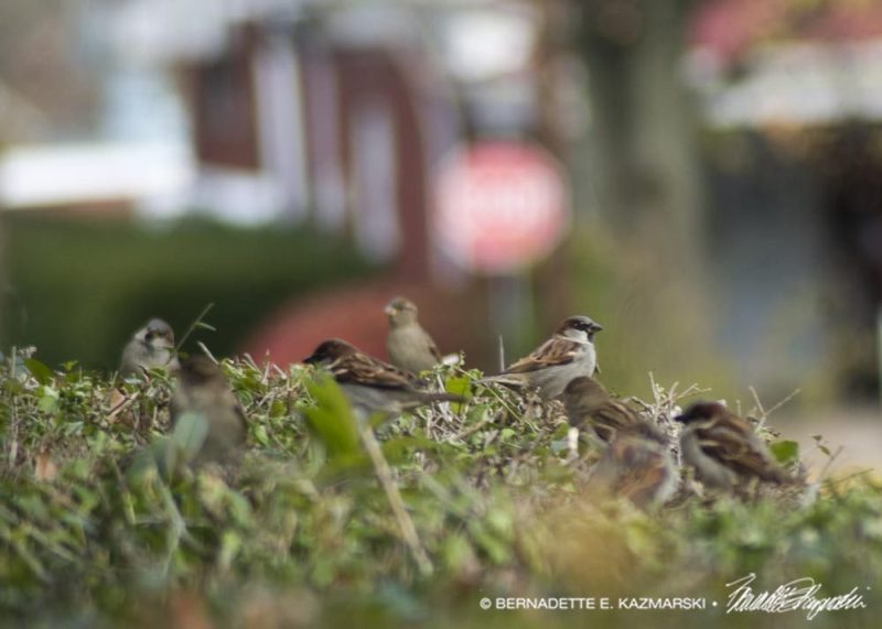 Sparrows in the neighbor's hedge, seen on my Saturday walk.
