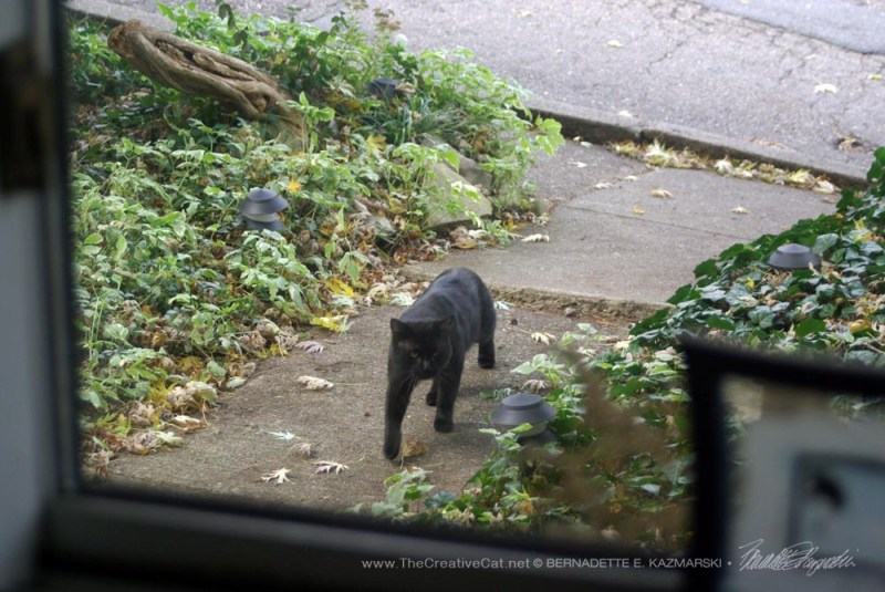 A large black cat came strolling down our walk.