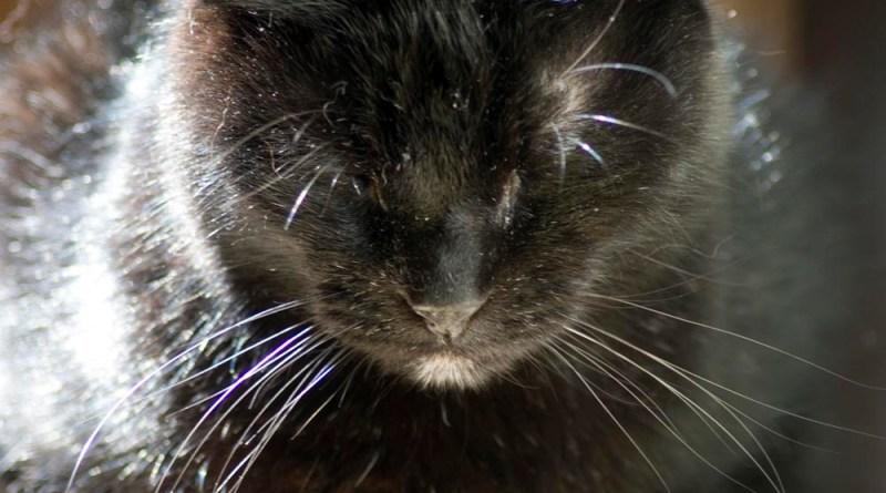 black cat napping