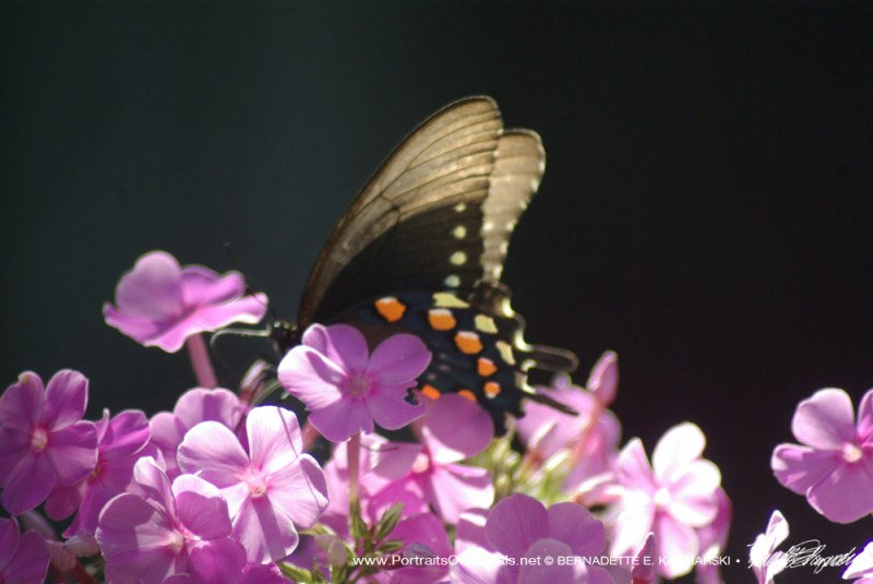 A dark phase tiger swallowtail on phlox.