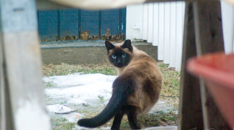 siamese cat outdoors