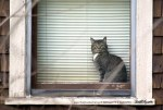 tabby cat in window