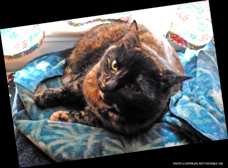 photo of tortie cat