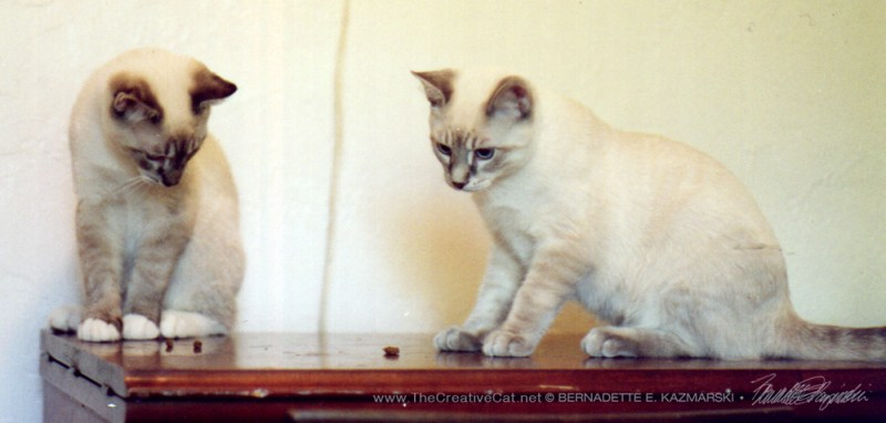 Tess's kittens, who looked like Tonkinese cats.