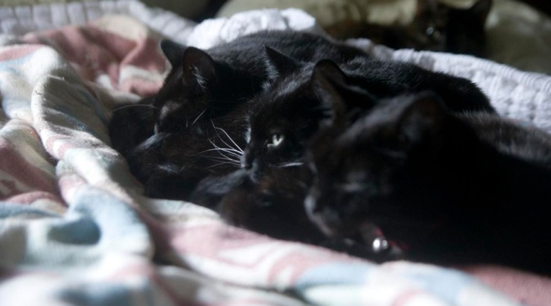three black cats and one tortie lined up for napping