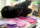 Meet my quality control team: Mewsette, Giuseppe and Jelly Bean inspect each card.