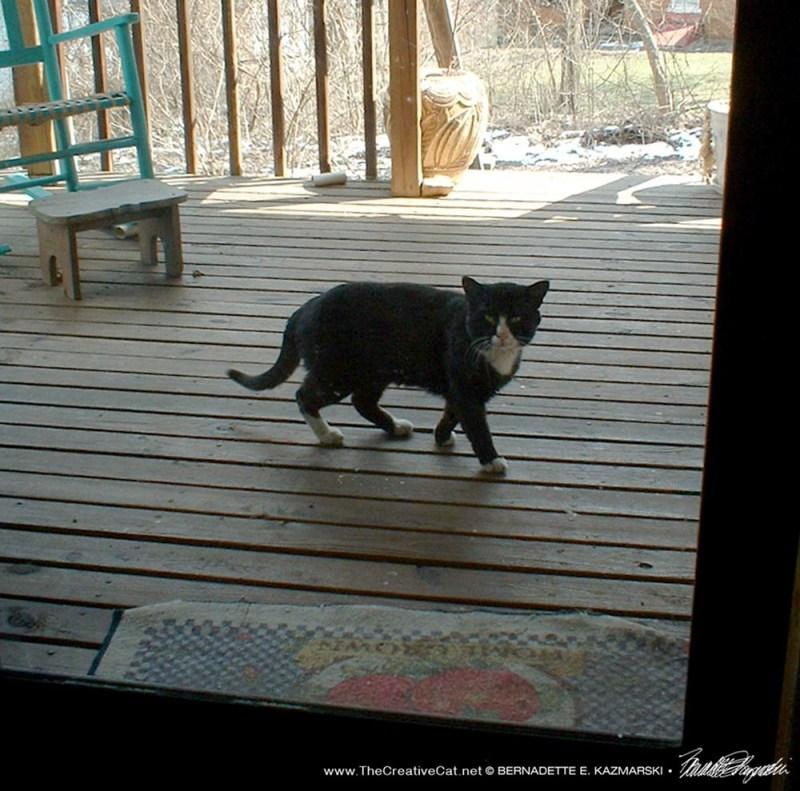 male tuxedo cat