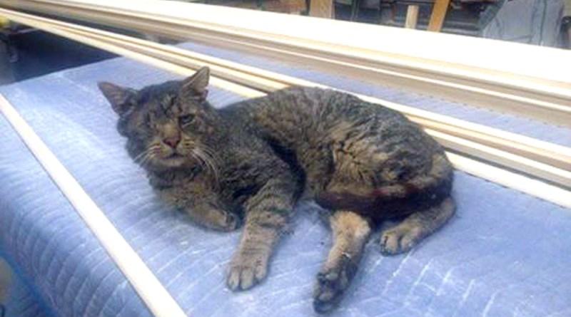 one-eyed tabby cat