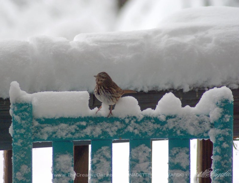 Song Sparrow looking for a place to perch.