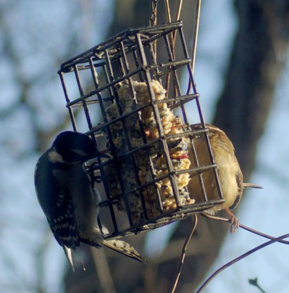 woodpecker and wren