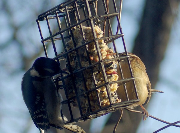 woodpecker and wren