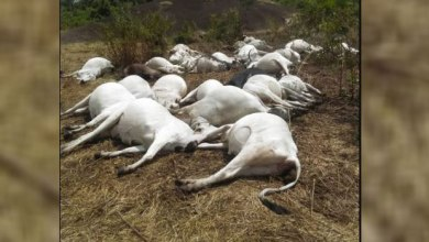 Some of the dead cows killed by the strange thunder