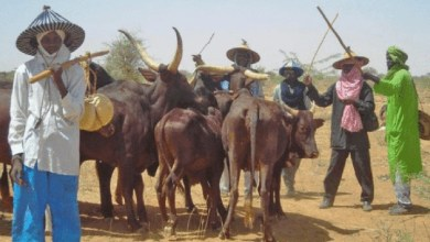 Fulani herdsmen and their cattle12849455_miyettiallah1660x3672x1280x7201_jpeg468c99bdda8fcef8e88c325b7c38a265