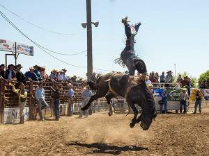 Bareback rider bucked off, Miles City Bucking Horse Sale, Montana, Richard Wilson, MODEL RELEASED on Rider only.