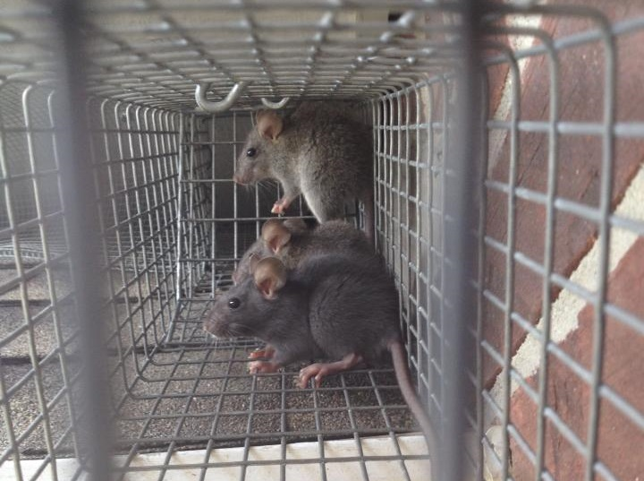 rats in trap