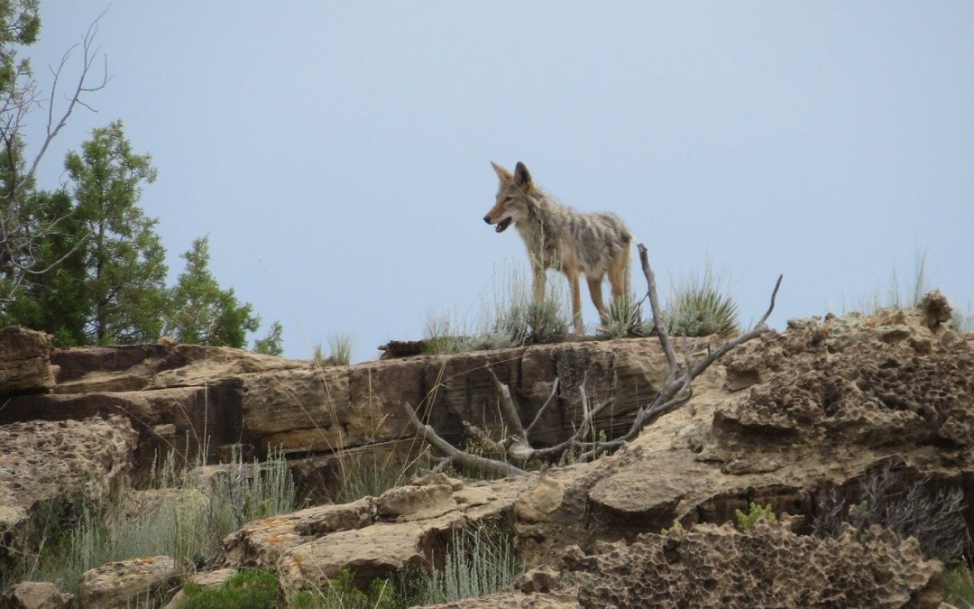 Uptick in Coyote Sightings