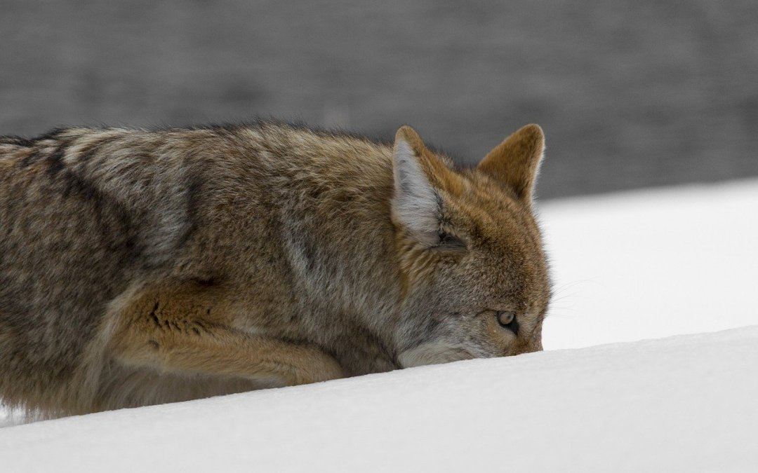 Keeping Coyotes Out of Your Yard