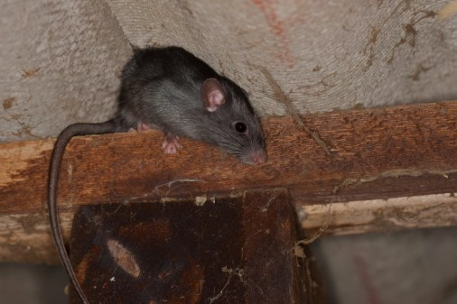 roof rat in Fulshear