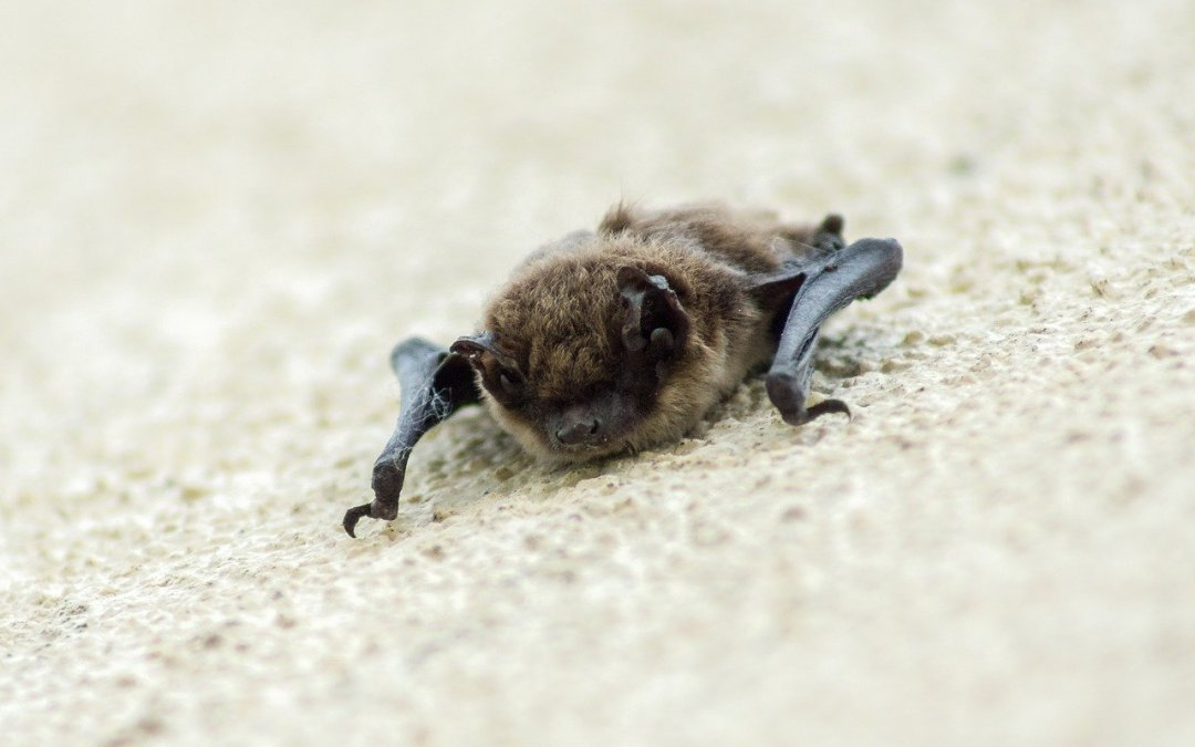 Fungal Bat Disease Takes Hold in Texas