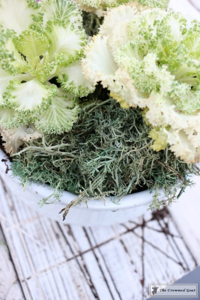 Ornamental-Kale-in-Ironstone-7-683x1024 How to Plant Ornamental Kale in Ironstone Containers DIY Holidays