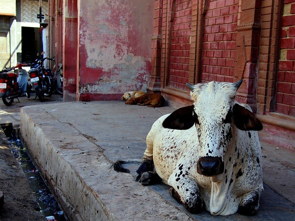 Cow in Rajasthan, India