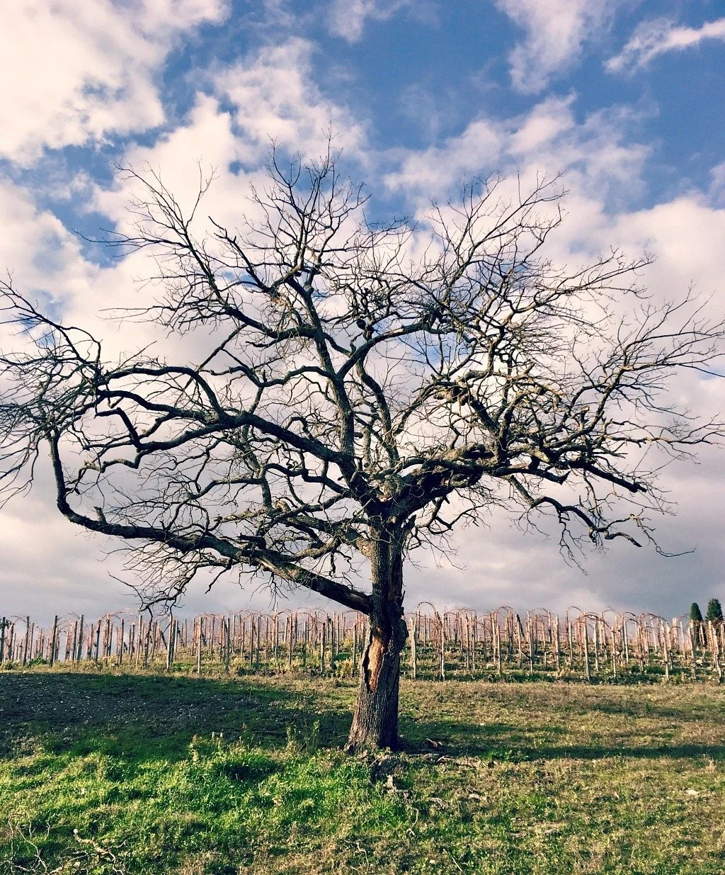 Stark tree and vineyards in Tuscany