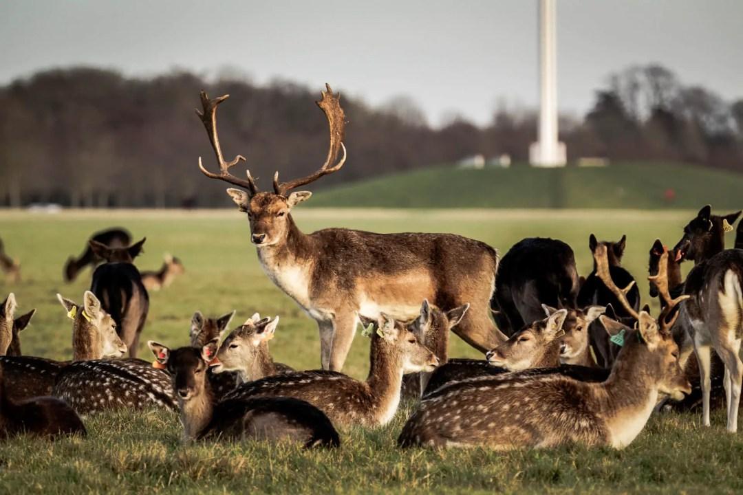 Herd of deer in Phoenix Park, Dublin