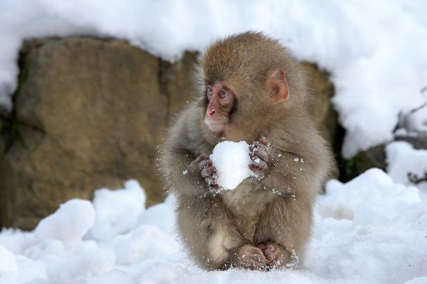 An-adorable-little-monkey-makes-a-snowball