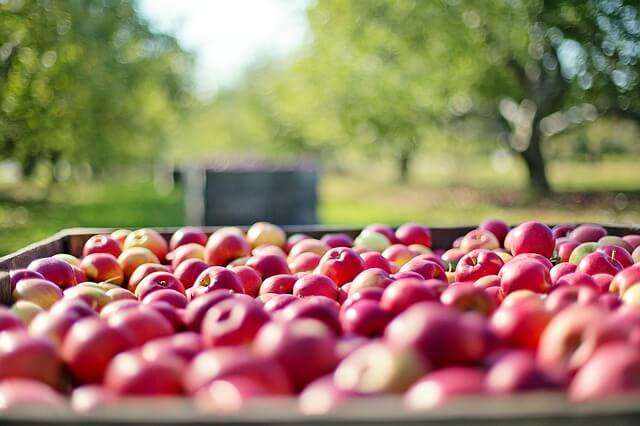 Hundreds of red apples in a crate in an apple orchard