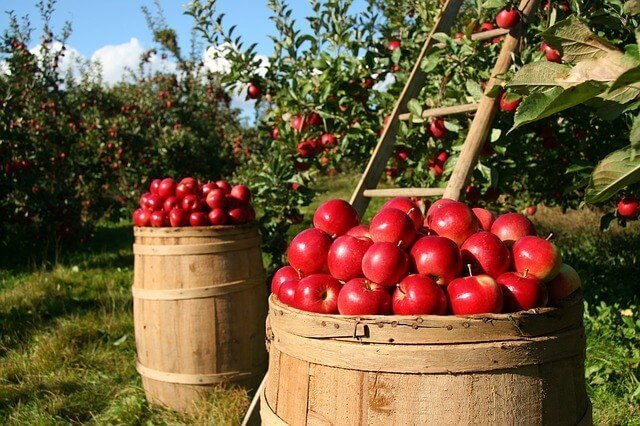 two wood barrels in an orchard full of apples