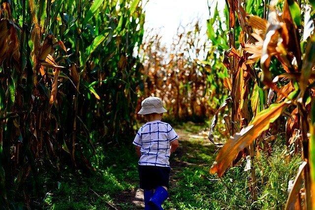a child wearing a hat walking in a corn maze